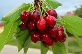 Cherries On A Branch 2