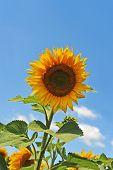 Sunflower (Helianthus)