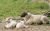 picture of suffolk sheep  - Mother Suffolk sheep with very young triplets - JPG