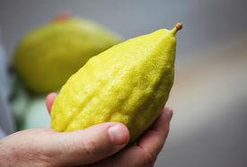 image of sukkoth  - Hand holding citrus - JPG