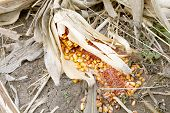 picture of corn-silk  - Background of withered corn - JPG