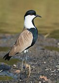 Spur-winged Plover (vanellus Spinosus) At Attention