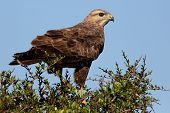 stock photo of buzzard  - Steppe Buzzard Bird of Prey perched on top of a tree - JPG