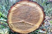 pic of beheaded  - stump of tree felled  - JPG