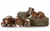 bulldog litter - five english bulldog puppies with their father sleeping beside them isolated on whi