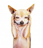 stock photo of elbow  - a funny chihuahua face - JPG
