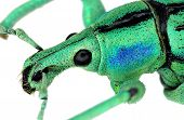 Extreme close up of a weevil