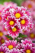 Bunch Of Chrysanthemum