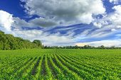 picture of husbandry  - Corn field and rainy sky in the summer - JPG