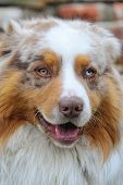 Australian Shepherd With Open Mouth