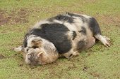 stock photo of pot bellied pig  - A large hairy pig sleeping on the grass - JPG