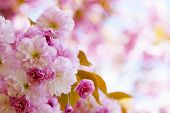 Pink Cherry Blossoms In Spring Orchard