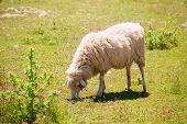 Sheep grazing grass in Menorca Balearic islands