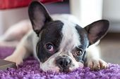 French bulldog sleeping on the carpet'