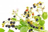 Bunch of blackberry branches with ripe blackberries isolated on white