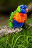 Rainbow Lorikeet On A Perch