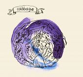 hand drawn vintage illustration of cabbage