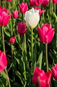 White Tulip Among The Pink