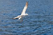 Sea Gull Flying Over The Sea