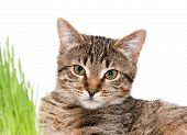 Tabby Cat In Grass