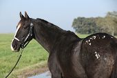 pic of appaloosa  - Portrait of black appaloosa mare with western halter - JPG