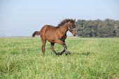 Brown Foal Running In Freedom