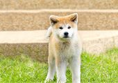 stock photo of akita-inu  - A young beautiful white and red Akita Inu puppy dog standing on the lawn - JPG