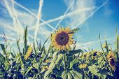 Field Of Sunflowers With Contrails In A Blue Sky