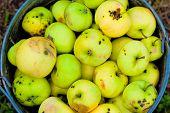 Harvest Broken And Bad Apples In A Bucket