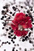 Frozen Red Pelargonium Flower And Parhenocissus