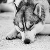 foto of husky  - Gray Adult Siberian Husky Dog  - JPG