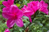 Pink azalea in left side
