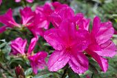 Pink azalea in near center