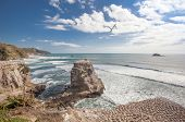 stock photo of gannet  - Muriwai Beach and gannet colony on The West Coast of The North Island Auckland New Zealand - JPG