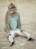 Male Monkey Sitting Comically On the Ground. Macaque Crabeater From Bali.
