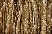 Aerial Roots Of A Tropical Plant. Natural Background