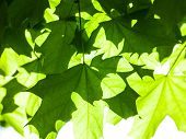 Green Maple Leaves In The Sunshine