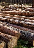 Pile Of Cut Pine Logs In The Forest