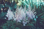 Detail Of A Flowering Heather Plant In The Garden
