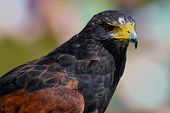 stock photo of hawk  - A head shot of an adult Harris Hawk (Parabuteo unicinctus)