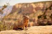 Squirrel In Canyon