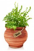 Fresh basil plant in a clay pot