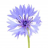 Blue Cornflower Close-up On White Background