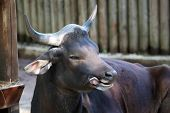 pic of animal husbandry  - A banteng Bos javanicus in a fence. These cattles are used as working animals and for their meat in several places in Southeast Asia.