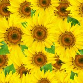 Seamless sunflower background with leaves