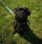a cute pug at a local park on a hot sunny day