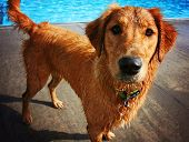a golden retriever swimming at a local pool