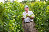 Senior winemaker in vineyard before grape harvest