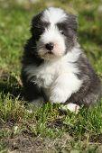 Beautiful Bearded Collie