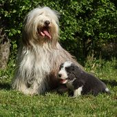 Beautiful Bearded Collie With Puppy Sitting In The Grass
